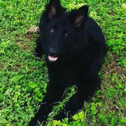 solid black long coat german shepherd