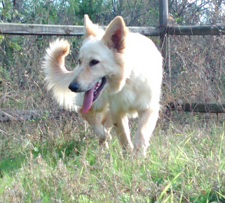 white champagne long coat german shepherd in texas.jpg