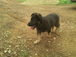2012-02-28 big boned german shepherd puppy.jpg