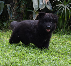 Katt and Brahm solid black long coat german shepherd female puppy in tx, wolfgang haus german shephe