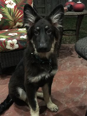 Roma and Brahm black and silver long coat german shepherd