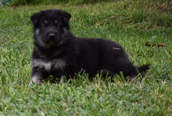black and silver large german shepherd puppy