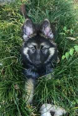 black and cream long coat german shepherd puppy