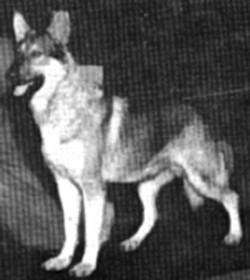 AM CH Schatz of Edgetowne wolf mask german shepherd, hobo mask german shepherd.jpg