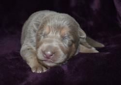 Isabella german shepherd puppy in texas