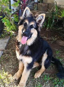 xxl long coat german shepherd puppy in t