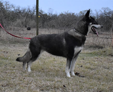 black and silver german shepherd