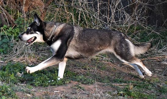 Elis silver sable wolf mask german sheph