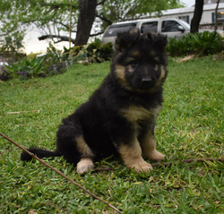 Prada and Brahm long coat extra large german shepherd puppy for sale in texas