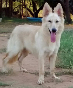 Champagne white long coat german shepherd dog in tx