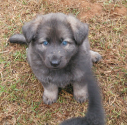 blue sable long coat german shepherd puppy for sale in Texas
