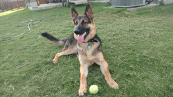 8 months storm and ruger male german shepherd puppy 85 lbs and 29 inches.jpg