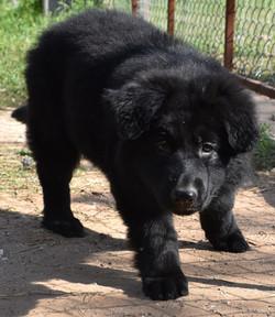 long coat solid black german shepherd puppy