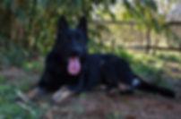 veda lay bicolor german shepherd in texa