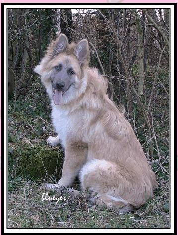 ay sable blue long coat german shepherd