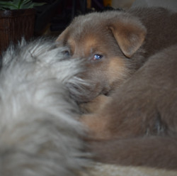 isabella german shepherd with blue puppy