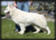 white long coat german shepherd