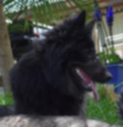 long coat long haired bicolor german shepherd