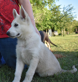 Roma and Hailock 9 week old male german shepherd puppy, maskless silver sable large german shepherd