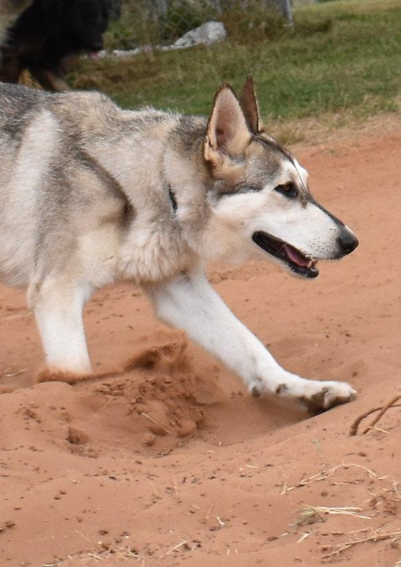 silver sable wolf mask german shepherd dog