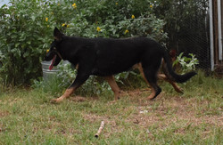 black and tan german shepherd puppy for sale in texas