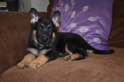 large black and tan red german shepherd puppy for sale in texas