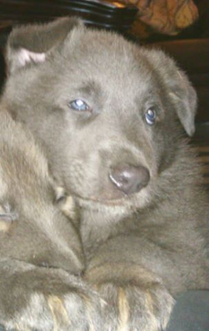 solid blue german shepherd puppy for sale in texas