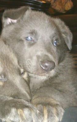 solid blue german shepherd puppy for sale in texas