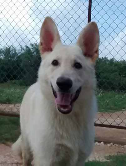 Bleau and Ruger male white with cream highlights german shepherd.jpg
