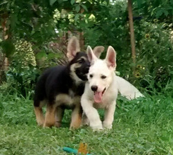 white german shepherd puppy for sale in texas tx.jpg