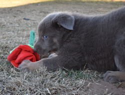Isabella female german shepherd puppy in