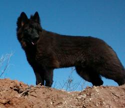 extra large solid black long coat german shepherd.jpg