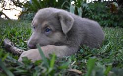 Isabella german shepherd puppy in texas.