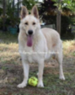 1 Tzarina white champagne german shepher
