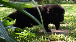 long coat solid black german shepherd puppy for sale