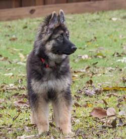 long coat black and cream german shepherd for sale