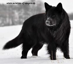13-01-26_007 solid black long coat german shepherd
