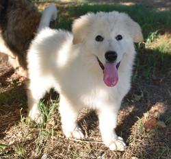 long coated white german shepherd puppy
