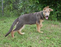 isabella german shepherd in texas
