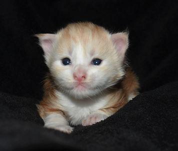 cream red maine coon kitten adoption in texas
