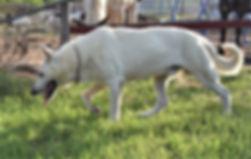Hailock extra large white german shepher