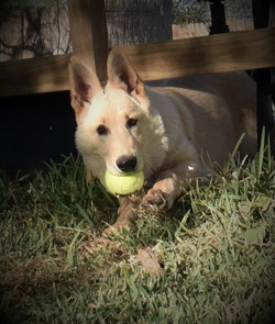Tzarina Champagne white large german shepherd puppy in texas