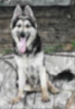 steel sit large german shepherd in texas