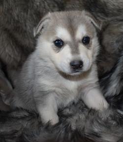 silver sable wolf mask german shepherd, wolf mask german shepherd puppy, wolfgang haus german shephe