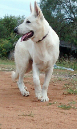 extra large white german shepherd puppy for sale in tx