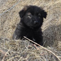 black sable long coat german shepherd pu