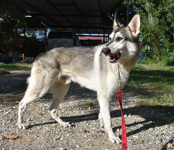 silver sable wolf mask german shepherd, wolfgang haus german shepherds (3).JPG