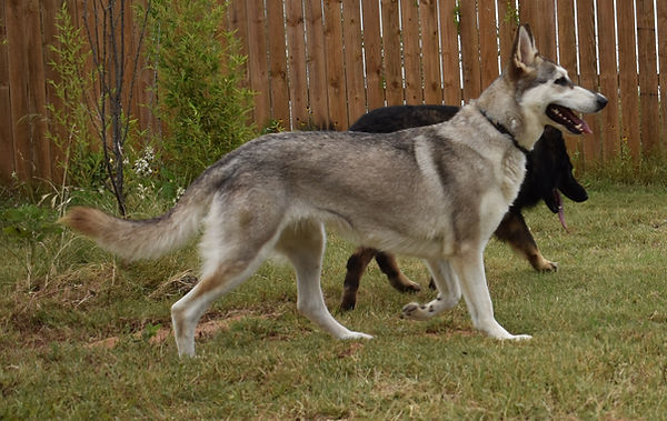 silver sable hobo mask german shepherd