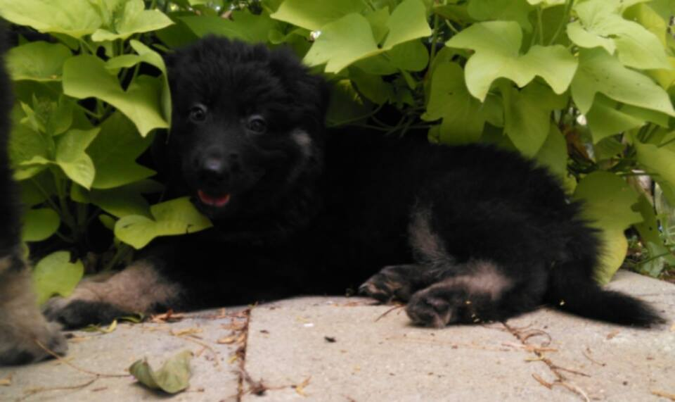 long coat black and tan female german shepherd for sale.jpg