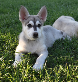Roma and Hailock, wolf mask silver sable german shepherd puppy 9 weeks old